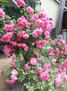 Elterliche Rosendinge.