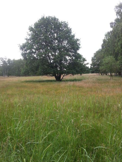 Heidenbaum